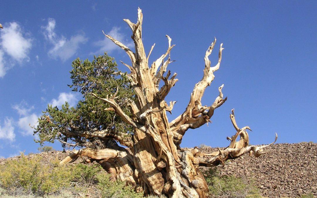 Die Föhre – ein geschätztes heimisches Holz
